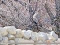 Northern Goshawk (Accipiter gentilis) (45869477024).jpg