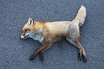 Norwegian Red Fox - Killed on the road P4.JPG
