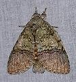 Notodontid Moth (Anurocampa mingens) (38708925911).jpg