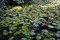 Nuphar lutea native waterlily at Woods Mill, Sussex Wildlife Trust, England 04.jpg