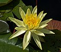 Nymphaea flower Botanical Garden Munich Nymphenburg IMGP1538.jpg