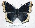 Nymphalis antiopa (mourning cloak butterfly).jpg