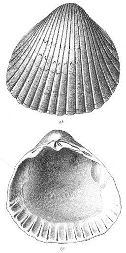 Nyst 1878 - Cerastoderma parkinsoni R-klep