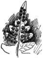OFH-008 Sori of Polypodium.png