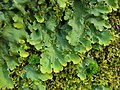 Oak Lungwort (4503976963).jpg