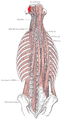 Obliquus capitis superior muscle.png