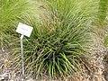 Ochagavia sp. - University of California Botanical Garden - DSC08960.JPG