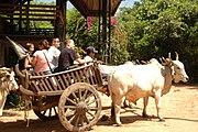 Touristen auf einem Ochsenkarren