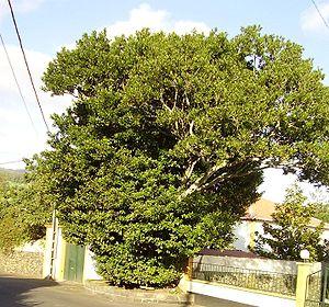 Ocotea - Tilo (Ocotea foetens) in Terra Chã (Azores)