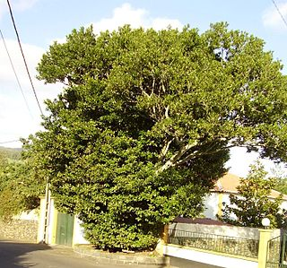 <i>Ocotea</i> Genus of trees
