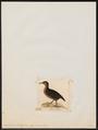 Ocydromus brachypterus - 1820-1863 - Print - Iconographia Zoologica - Special Collections University of Amsterdam - UBA01 IZ17500125.tif