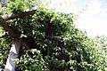 Odontadenia macrantha 4zz.jpg