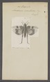 Oedipoda - Print - Iconographia Zoologica - Special Collections University of Amsterdam - UBAINV0274 066 02 0014.tif