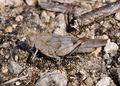 Oedipoda caerulescens qtl1.jpg