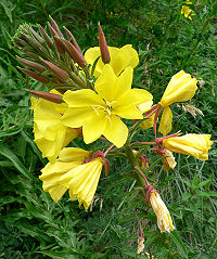 Oenothera elata hookeri 2