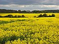 Oil-seed rape, Woodcote - geograph.org.uk - 790185.jpg