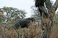 Okavango, elephant - panoramio.jpg