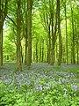 Old Down Wood bluebells 02.JPG