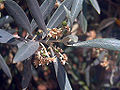 Olea europaea Closeup SolanadelPino.jpg