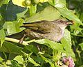 Olive-winged Bulbul (Pycnonotus plumosus) - Flickr - Lip Kee (1).jpg