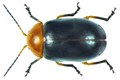 Ootheca bennigseni Weise, 1900.png