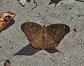 Open wing position of Tanaecia jahnu Moore, 1857 – Plain Earl WLB DSC 0056 (10).jpg