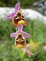 Ophrys episcopalis1.jpg