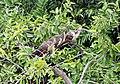 Opisthocomus hoazin -Manu National Park, Peru-8.jpg