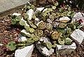 Opuntia humifusa Raf. 02.jpg
