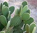 Opuntia microdasys 3.jpg