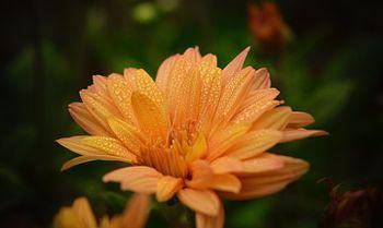 Orange Crysanthimum.jpg