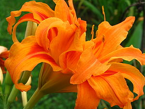 English: An Orange Daylily (Hemerocallis fulva...