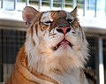 Orange bengal tiger at Cougar Mountain Zoological Park headshot 1.jpg