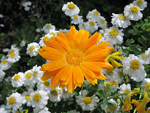 Orange flower with water.jpg