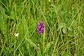 Orchid in Malham Tarn NNR (5940).jpg