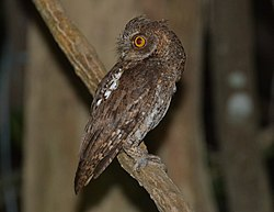 Oriental Scops Owl in Andamans DSC 7805.jpg