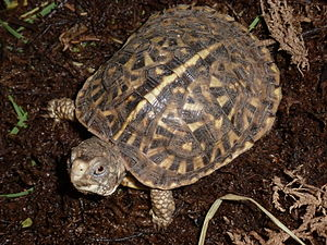 Ornate box turtle - An ornate box turtle hatchling