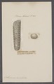 Orthoceras annelatus - - Print - Iconographia Zoologica - Special Collections University of Amsterdam - UBAINV0274 091 03 0005.tif
