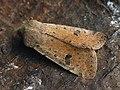 Orthosia cruda - Small Quaker - Ранняя совка жёлто-серая (26204567417).jpg