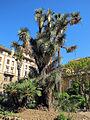 Orto botanico, fi, yucca australis.JPG