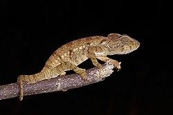 Oustalet's chameleon (Furcifer oustaleti) juvenile Montagne d'Ambre.jpg