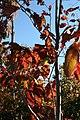 Oxydendrum arboreum 46zz.jpg