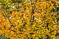 Pörtschach 10.-Oktober-Straße Ahornbaum Blattwerk 10112019 7320.jpg