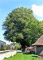 Příluka, lime tree.jpg