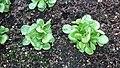 P1000943 Salat.jpg