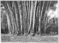 PSM V73 D209 Giant bamboos.png