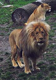 Casal de leões criados em zoológico
