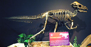 "Pachycephalosaurus - Cast of the ""Sandy"" specimen"
