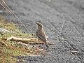 Paddyfield pipit 10 (Anthus rufulus) വയൽ വരമ്പൻ .jpg