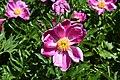 Paeonia lactiflora 02.jpg